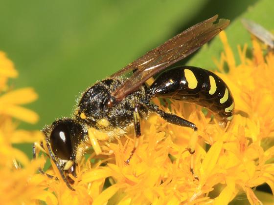 wasp - Ectemnius maculosus - male