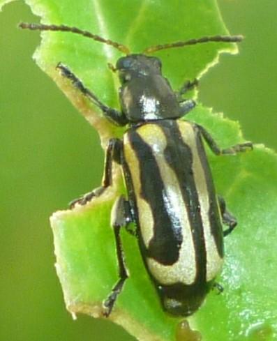Agasicles hygrophila