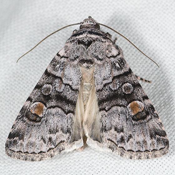 Oncocnemis dunbari - Sympistis dunbari