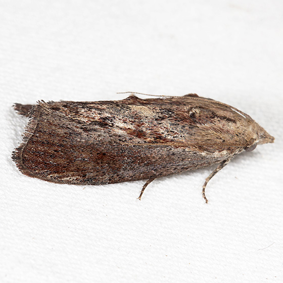 Greater Wax Moth - Hodges#5622 - Galleria mellonella