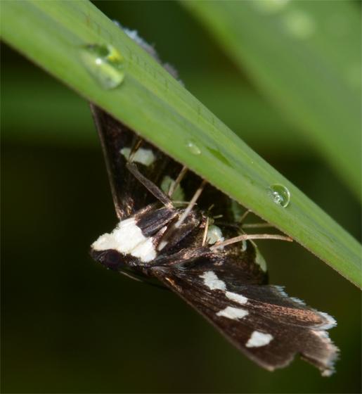 Desmia - Desmia maculalis - female