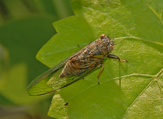 Cicada - Cicadetta calliope