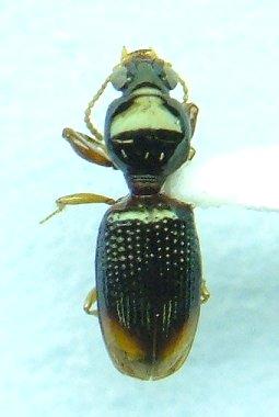 Carabid - Dyschirius haemorrhoidalis