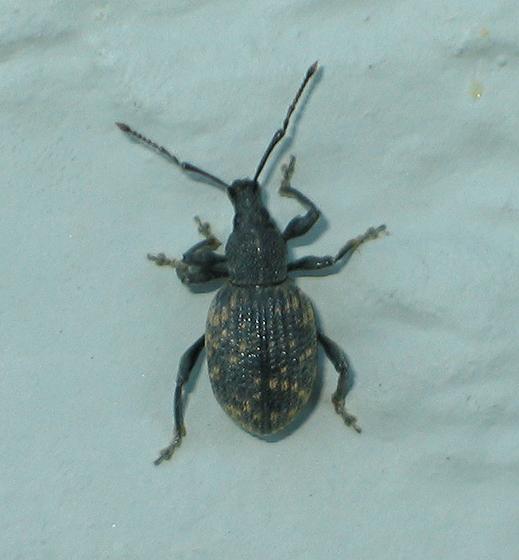 Snout Beetle - Otiorhynchus sulcatus