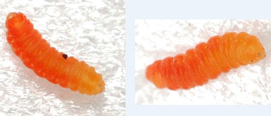 goldenrod flower gall midge larva - Schizomyia racemicola