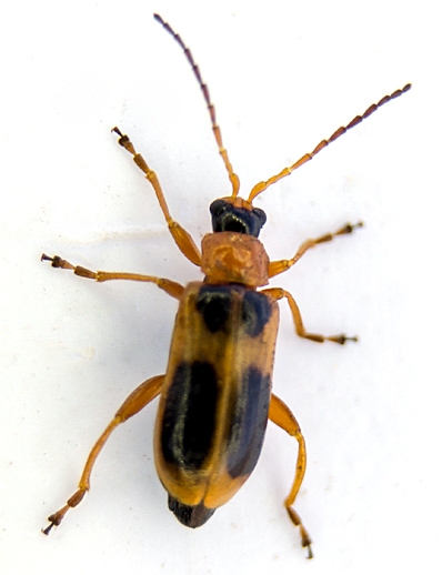 Which beetle? - Phyllobrotica decorata