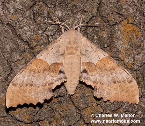 Pachysphinx occidentalis - female