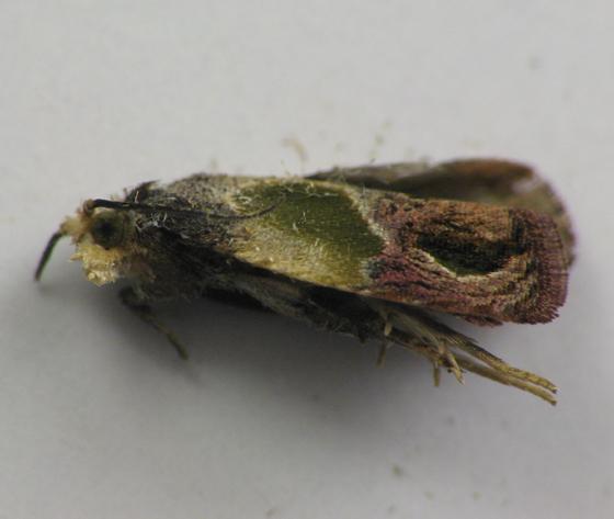 Leaf roller. 10/15/2010 - Eumarozia malachitana