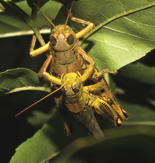 Acrididae - Melanoplus differentialis - male - female