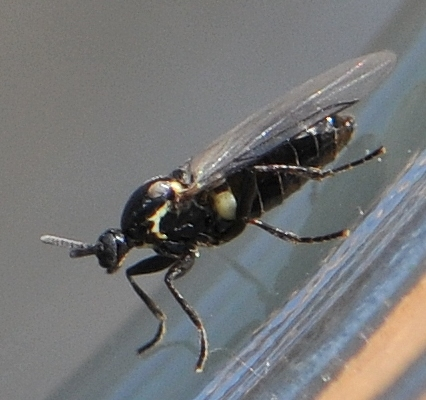 Minute Black Scavenger Fly (Scatopse sp.) - Scatopse