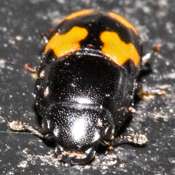 Little Black Beetle with Orange (front) - Glischrochilus fasciatus