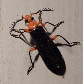 Neopyrochroa femoralis? - Neopyrochroa femoralis - male