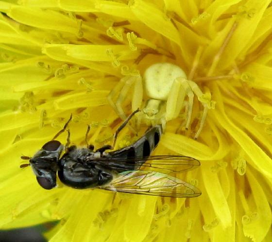 Misumenoides?? & Syrphidae 01