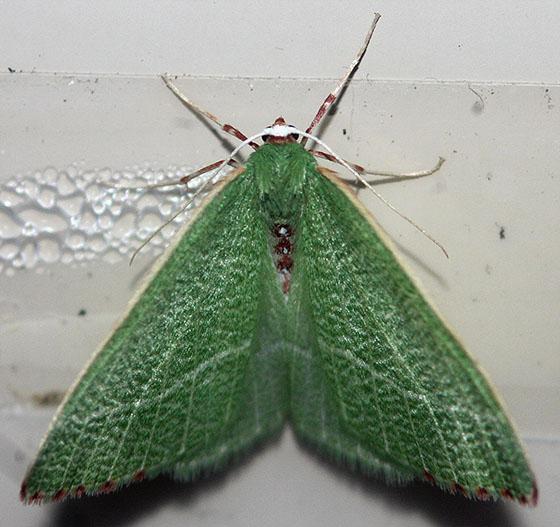 Geometer - Nemoria pulcherrima - female