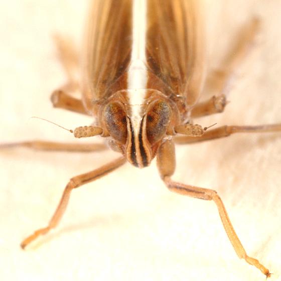 planthopper - Stenocranus dorsalis