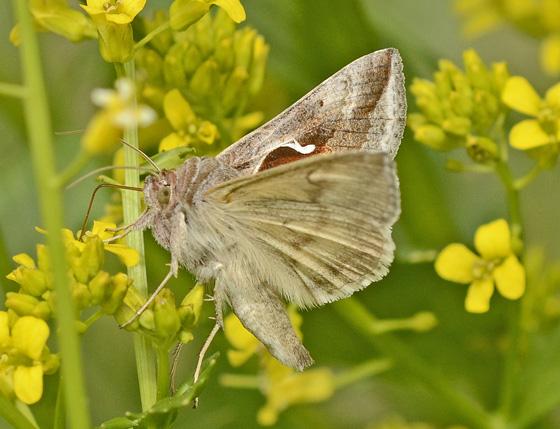 Moth 388A 2222 - Anagrapha falcifera