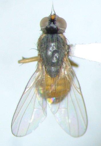 Muscoid fly - Atherigona reversura - female