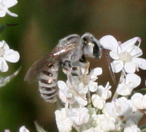 Little Bee ID Request - Halictus tectus - male