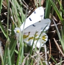 Unknown White butterfly - Euchloe olympia