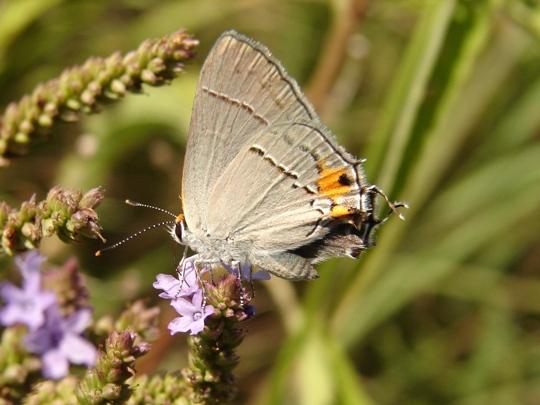 Hairstreak - Strymon melinus - female