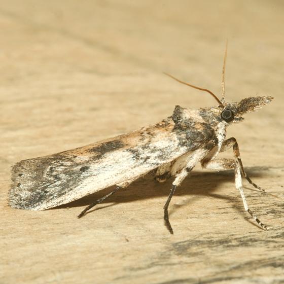 Moth  - Alberada franclemonti
