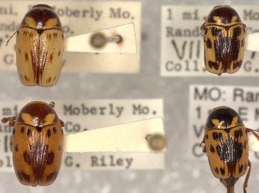 Cryptocephalus mutabilis F. E. Melsheimer  - Cryptocephalus mutabilis