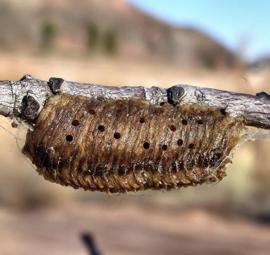 Holes from emerging mantis or parasites? - Podagrion