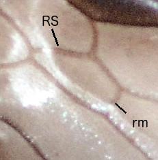 Capitonius 2nd submarginal cell - Capitonius - male