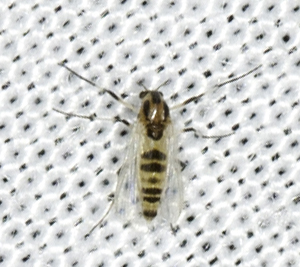 Diptera - Cricotopus - female