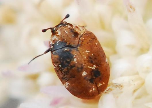 Carpet beetle with nasty rug burn? - Anthrenus lepidus