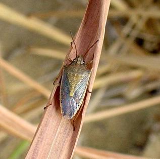 Stink bug - Oebalus pugnax