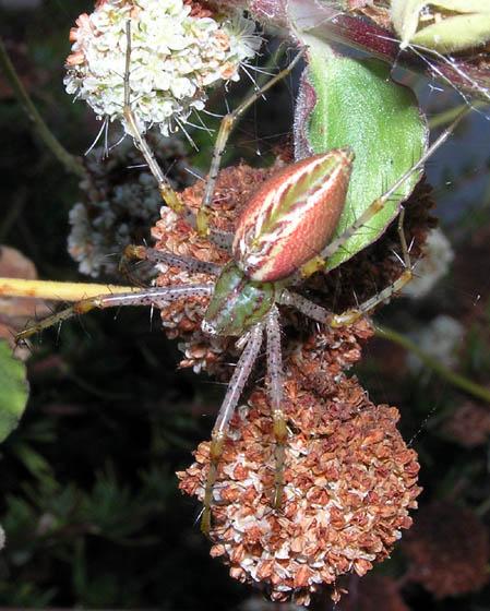 Rust-colored Lynx Spider - Peucetia viridans - female