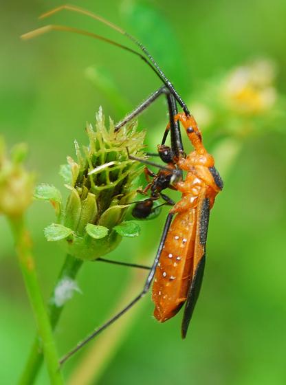 assasin bug - Zelus longipes