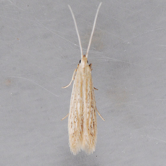 1380   - Coleophora fagicorticella