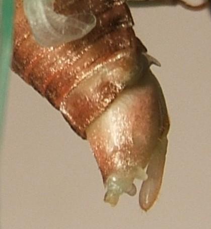 Tibicen Cicada Part 3 - Dorsal Views - Neotibicen canicularis - female
