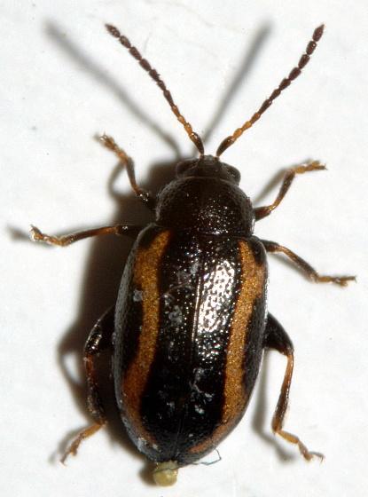 Flea Beetle - Phyllotreta zimmermanni