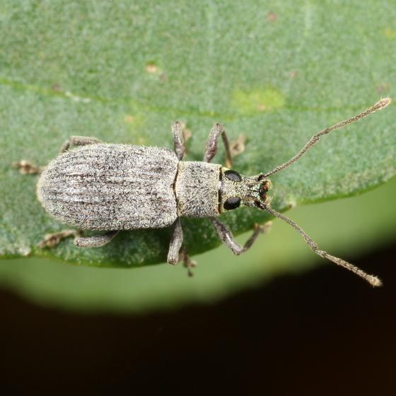 Weevil - Cyrtepistomus castaneus