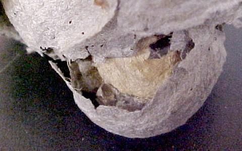 Dolichovespula alpicola nest - Dolichovespula alpicola