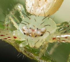 Closeup 32428 - Mecaphesa