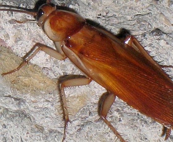 Turkestan Cockroach - Shelfordella lateralis - male