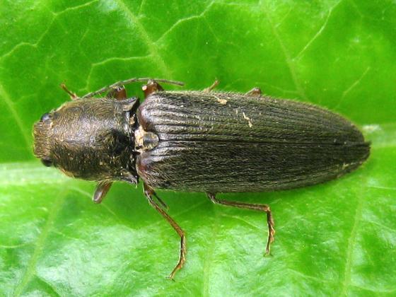 Hemicrepidius - Hemicrepidius hemipodus