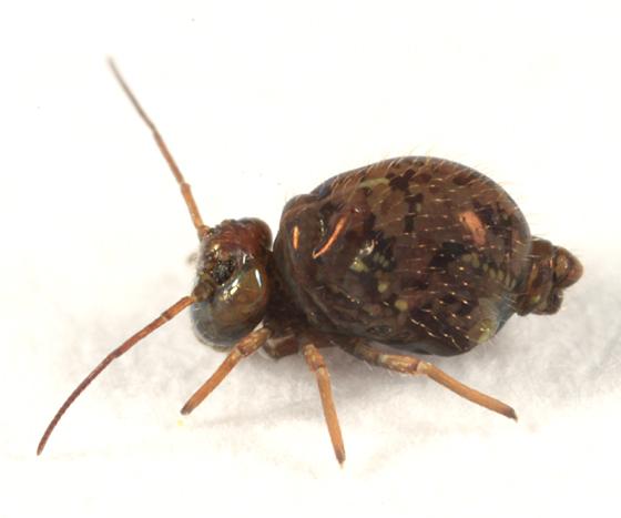 Globular Springtail - Pseudobourletiella spinata - female