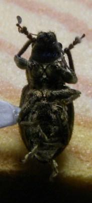 Curculio... - Naupactus peregrinus