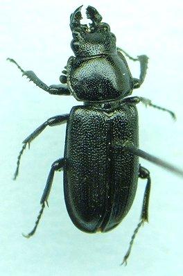 Lucanid - Platycerus quercus - male