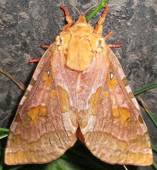 270713 Moth - Sthenopis purpurascens