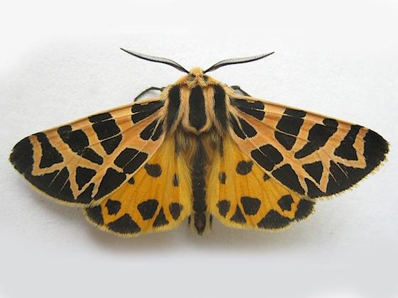 Ornate Tiger Moth - Apantesis ornata