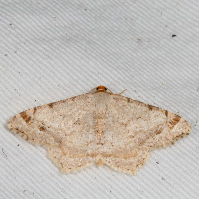 6342 Red-headed Inchworm - Macaria bisignata - Macaria bisignata