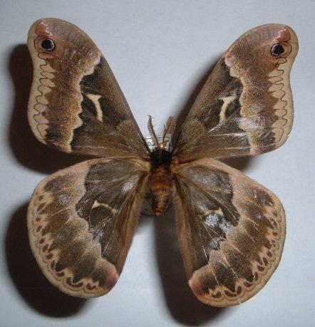 Moth - Callosamia angulifera - male