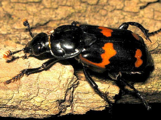 Red and Black Beetle - Nicrophorus sayi
