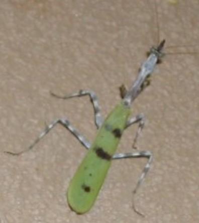 Some type of Praying Mantis? - Pseudovates arizonae